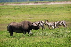 Black-rhino-in-Ngorongoro-Crater